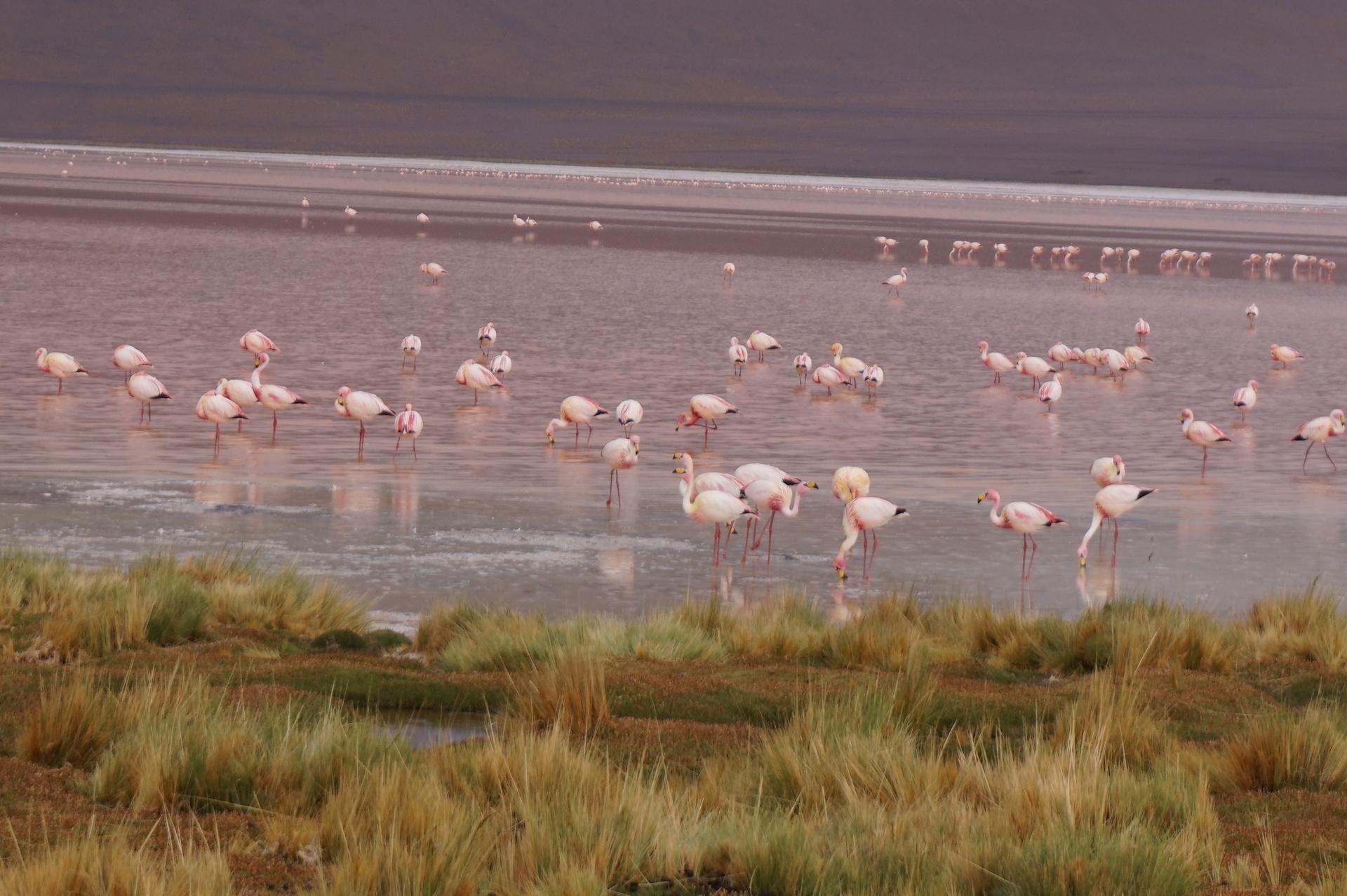 チリ ボリビア ウユニ旅行 2泊3日ツアー フラミンゴ