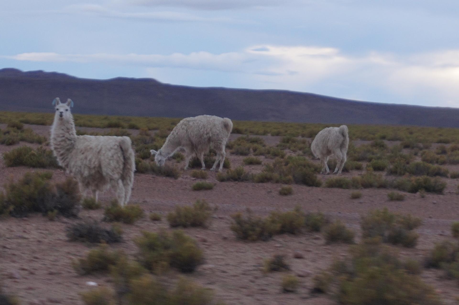 チリ ボリビア ウユニ旅行 2泊3日ツアー 疾走感のあるアルパカ
