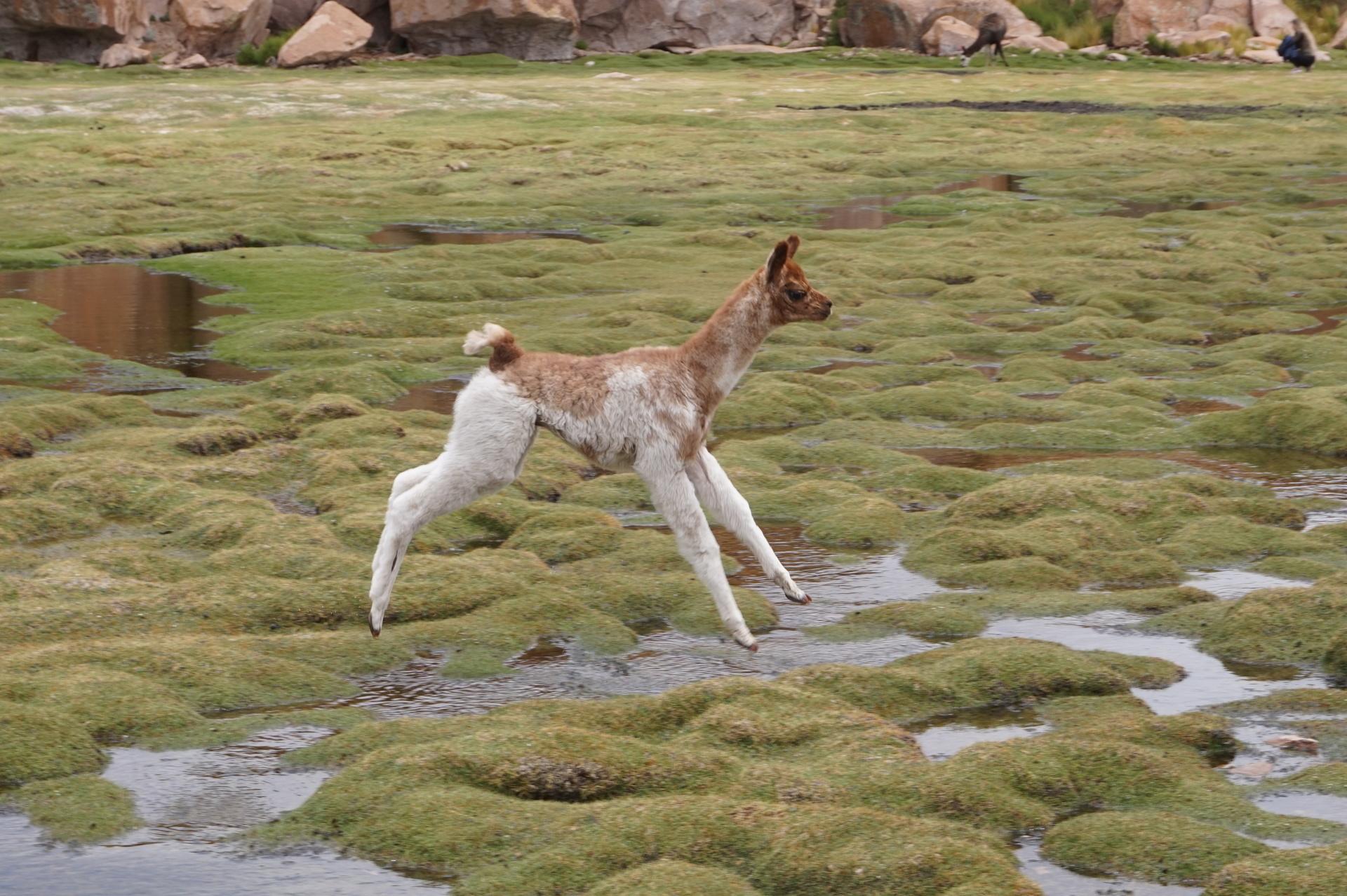 チリ ボリビア ウユニ旅行 2泊3日ツアー 子供アルパカ