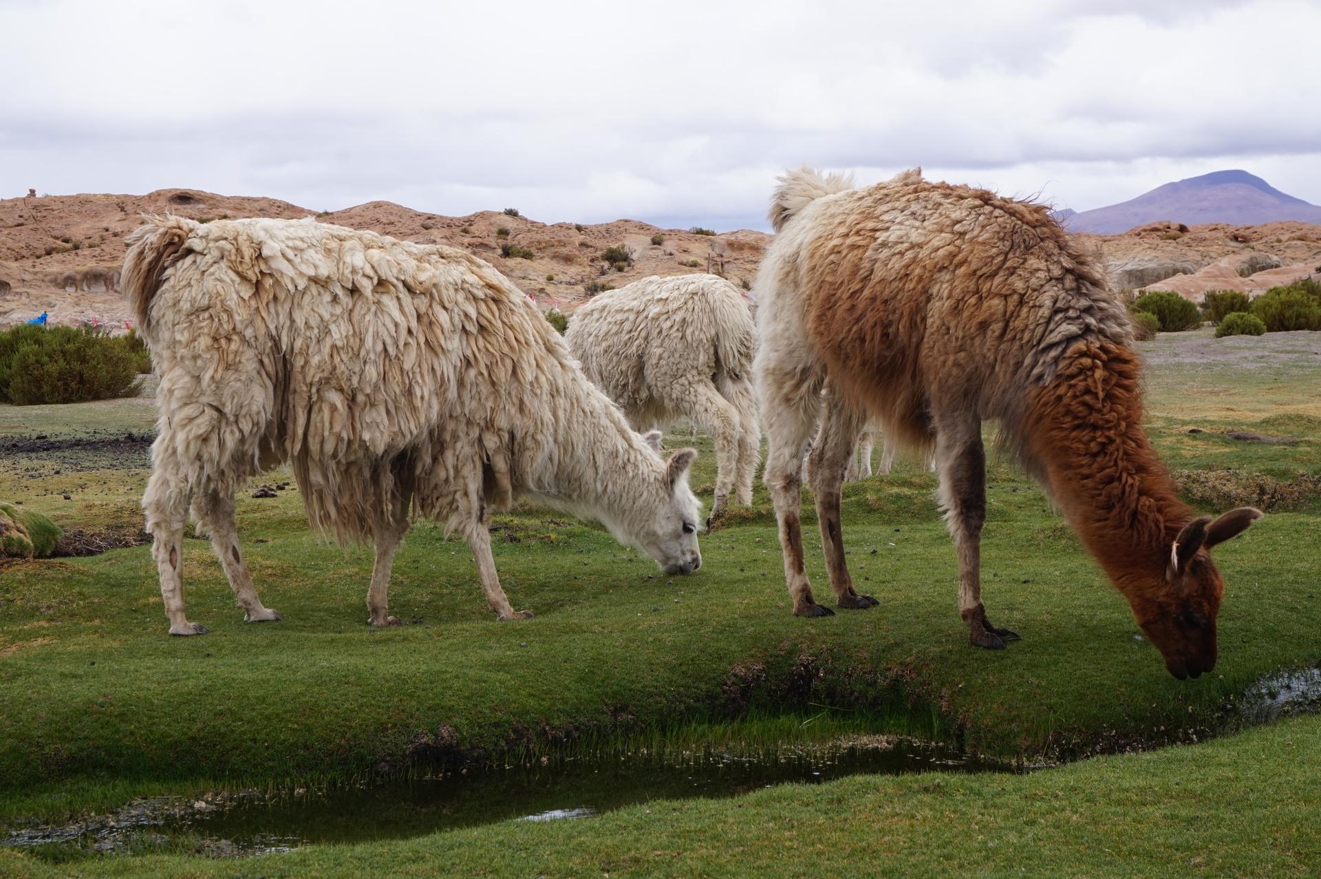 チリ ボリビア ウユニ旅行 2泊3日ツアー もしゃもしゃ