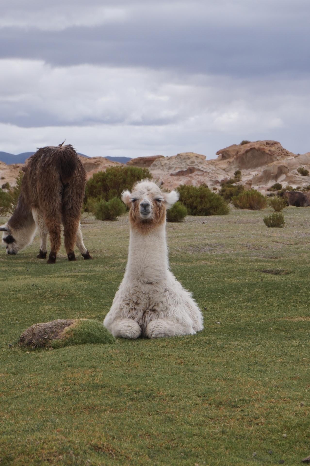 チリ ボリビア ウユニ旅行 2泊3日ツアー お座りアルパカ